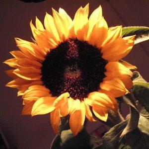 Blühende Sonnenblume im Licht