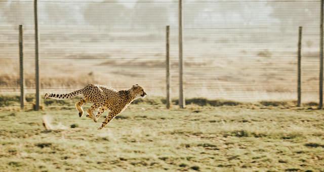 Gepard jagt über eine Grasfläche
